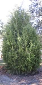 2014 Arbor Day-Cedar Tree
