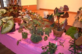 Various begonias on display