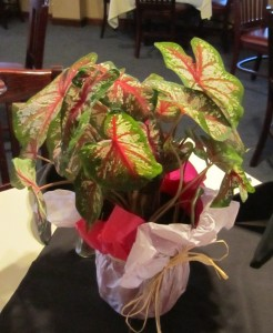 One of the caladium plant door prizes won by several of our members.